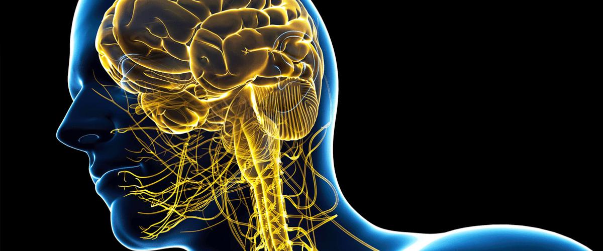sistema nervioso central y cerebro