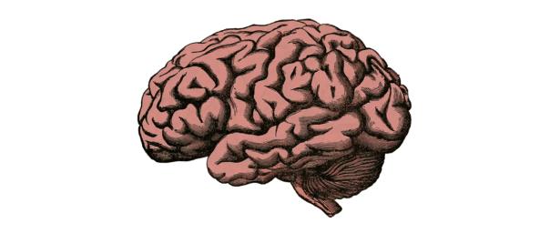 cerebro y su anatomía