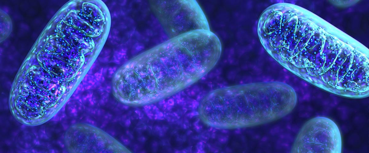 Entendiendo al cerebro anatomía cerebral y mitocondrias
